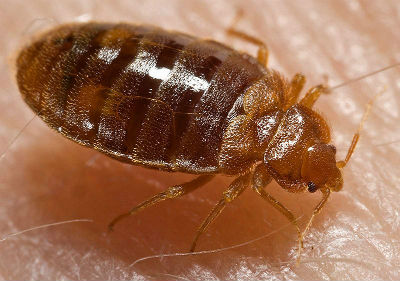 800px-Bed bug Cimex lectularius(copy)