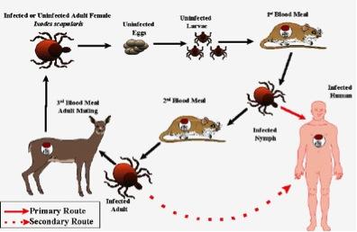 Dog Lyme Disease Food