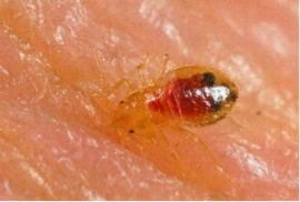 All About Bedbugs